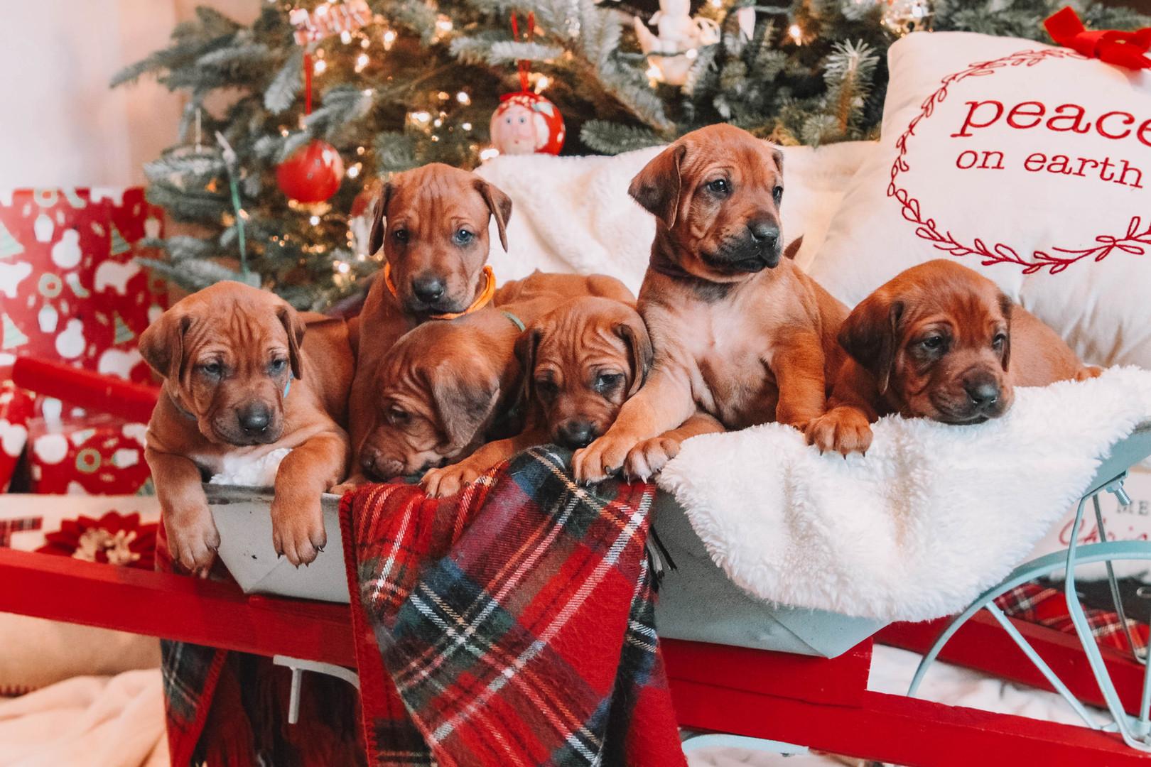 XMas Pups (10).jpg