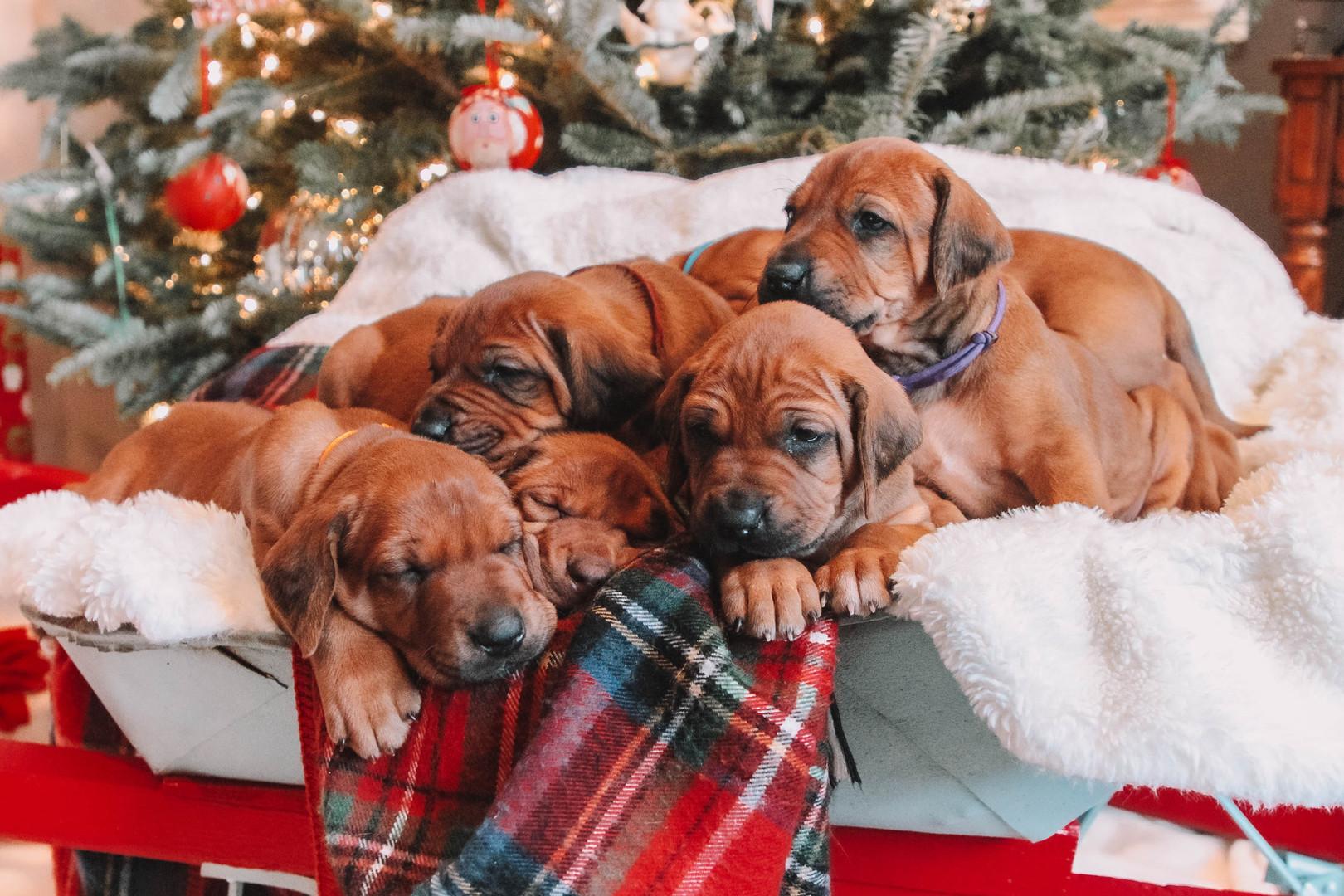 XMas Pups (1).jpg