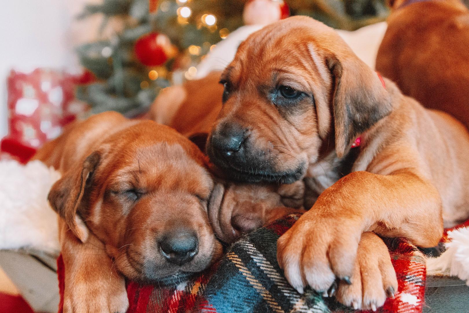 XMas Pups (3).jpg