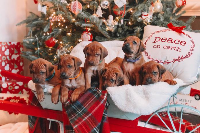 XMas Pups (20).jpg