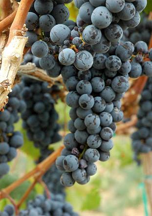 grape 1.jpg