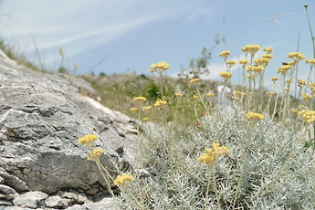 Helichrysum plant.jpg