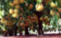 Pomeloboom2.jpg