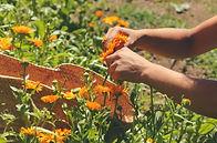 calendula harvest.jpg