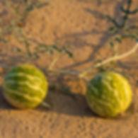 Kalahari-Melon-Oil-736a.jpg