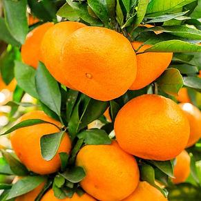 tangerine-mandarin-essential-oil-tangpmb