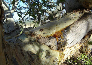 Resin on the tree.jpg
