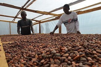 Organic Cocoa Bean drying.jpg