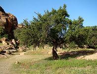Argan Tree.jpg