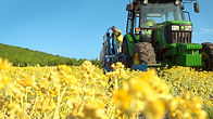 Helichrysum harvest.jpg