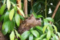 GSL_Cinnamon_Leaves-2.jpg