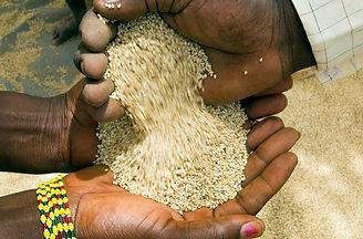 Sesame Seed harvest.jpg