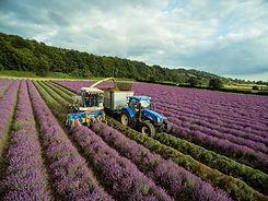 Lavender Harvest.jpg