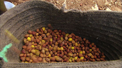 Collected Argan Nuts.jpg