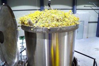 Helichrysum distillation.jpg