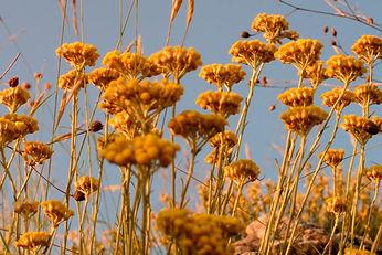Helichrysum plant 2.jpg