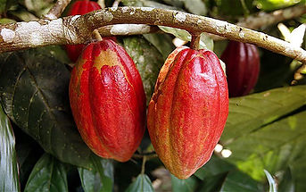 cacao-sourcing-12.jpg