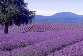 Lavender farm.jpg