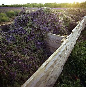 Lavender Harvest 2.jpg