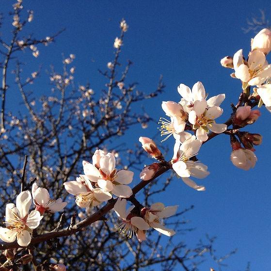 fiori-alberi-da-frutto-mandorlo-sara-man