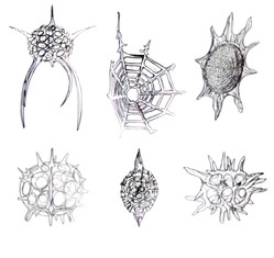 Radiolarian Pencil Drawings