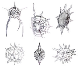 Radiolarian Pencil Drawings