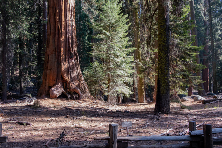 Sequoia Trees in Sequoia National Park