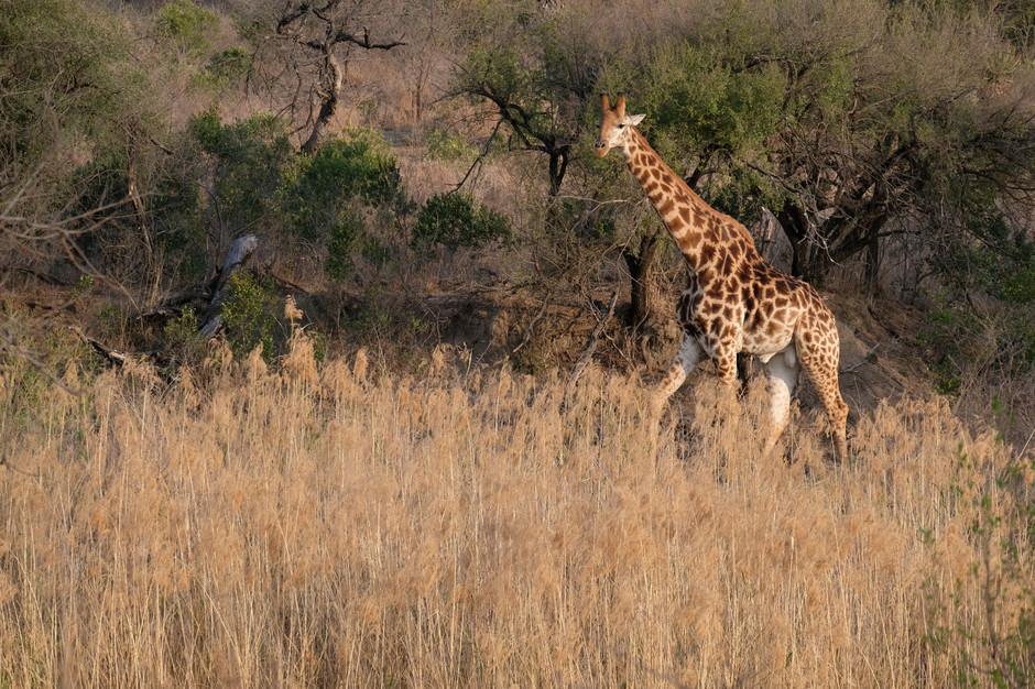 Giraffe, Zululand
