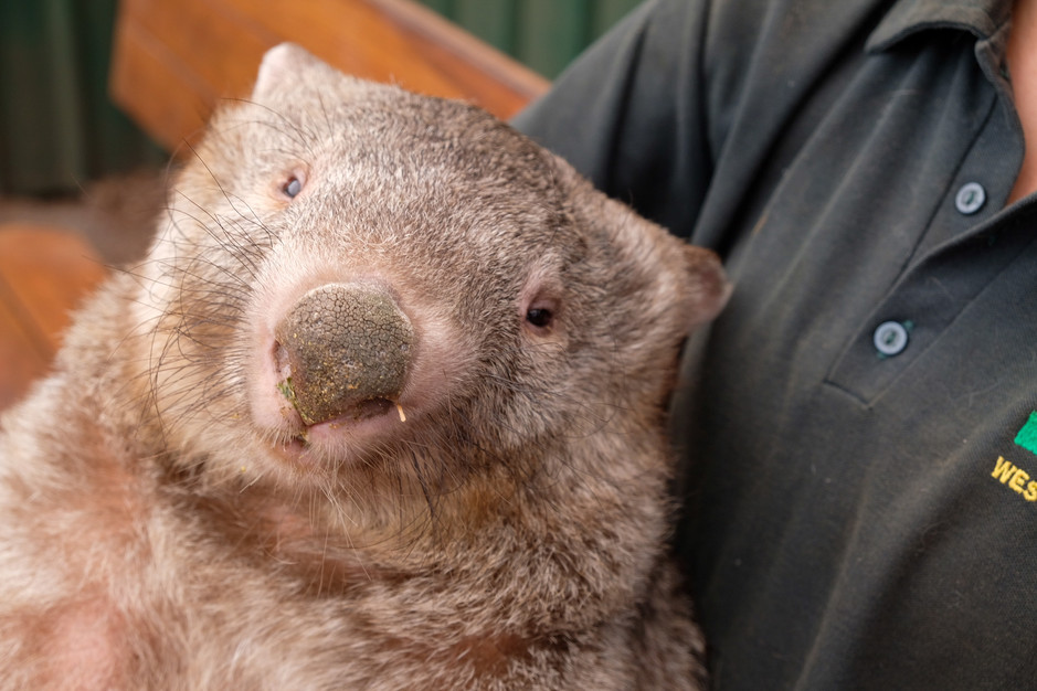 Wombats in Caversham Wildlife Park