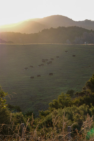Whananaki grazing
