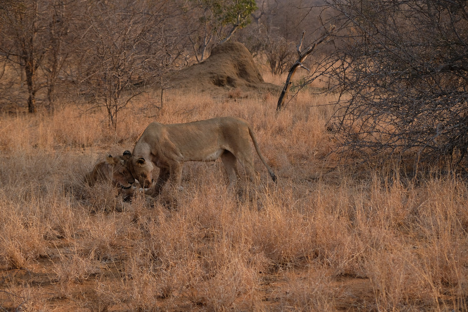 Lions in Balule Private Game Reserver (Greater Kruger National Park)