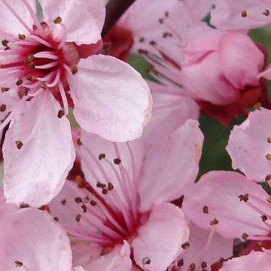Prunus cerasifera Woodii