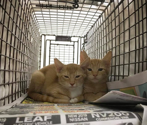 Ear-notched orange tabby kittens resting quietly after surgery in a humane trap