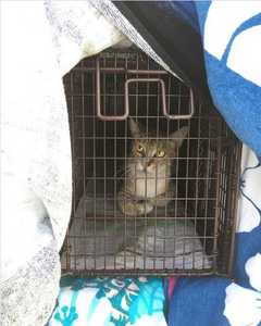 cat in humane trap