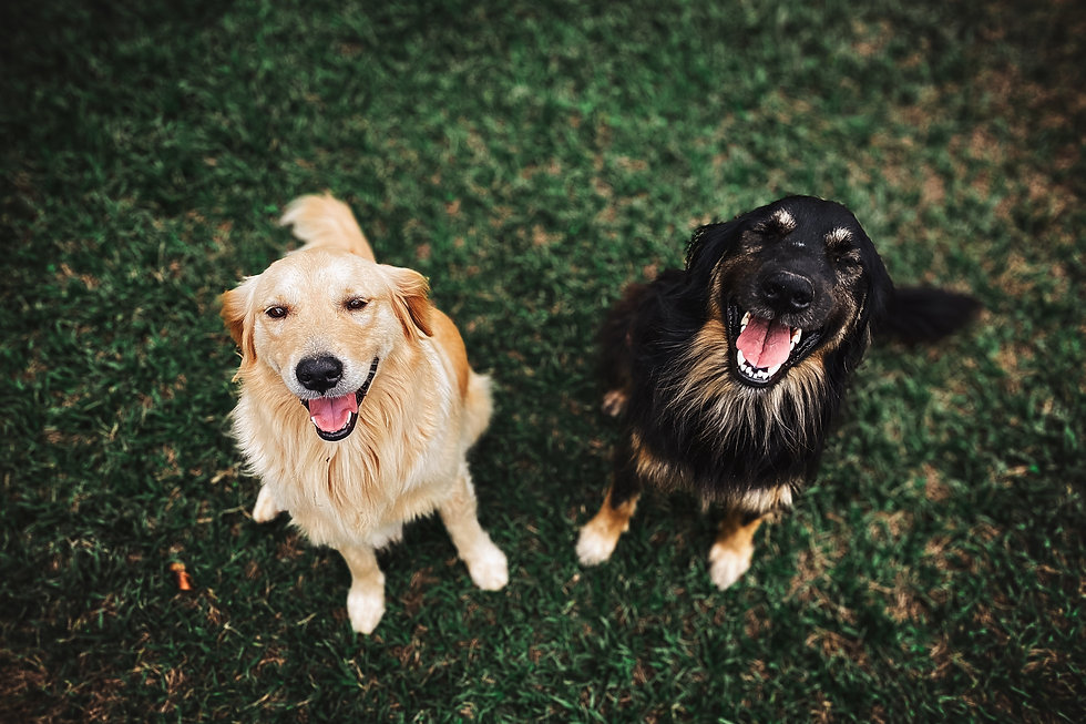 two-long-coated-brown-and-black-dogs-311