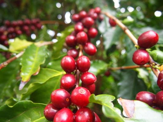 Australian Coffee Cherries.jpg
