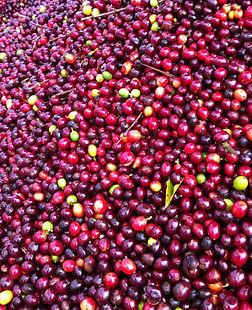 Australian Coffee Cherries