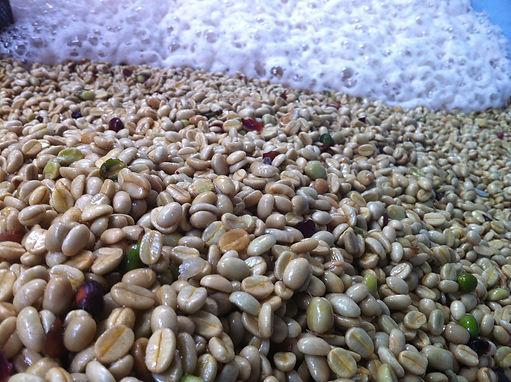 Mountain Top Coffee Washing Green Beans.