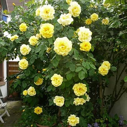 Роза плетистая Голден Шоуэрс