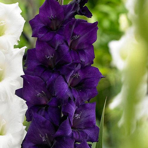 Гладиолус Purple Flora 10/12