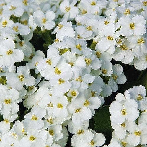 Арабис кавказский Белый /0,1г/ Професійне насіння.