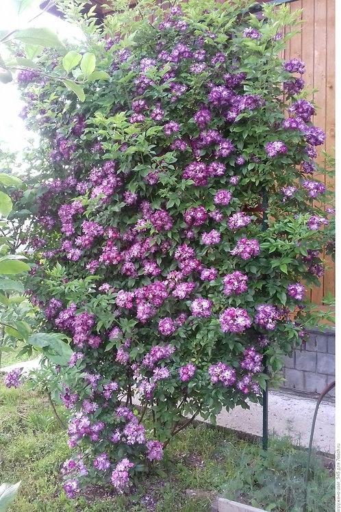 Роза плетистая Вейченблау