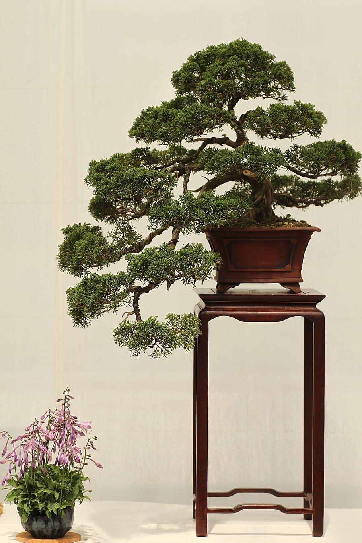 bonsai-plant-juniper-japan