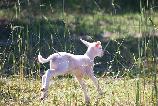 Katahdin Sheep Lambing_edited.jpg
