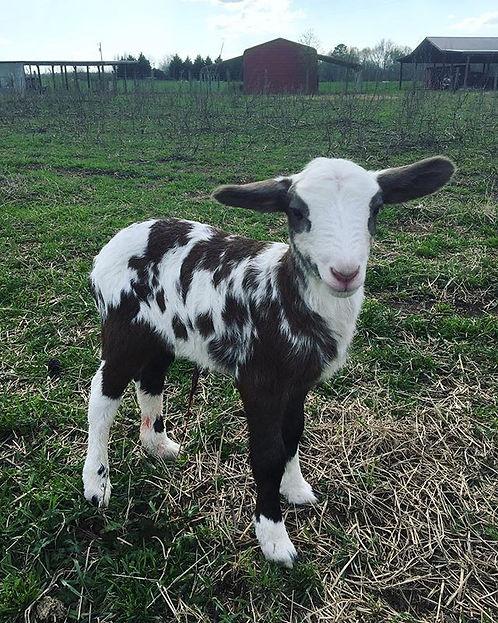 Baby lamb born today #happyinternational