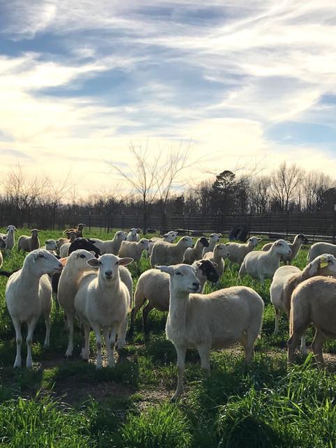 georgia lamb