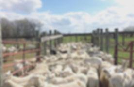 Baaaaaaa, baaaaaaa #sheep