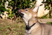 Acheronte Buck's Fizz cane lupo cecoslovcco