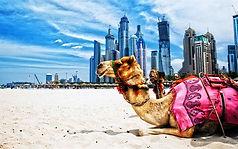 thumb2-camels-hdr-dubai-beach-uae.jpg