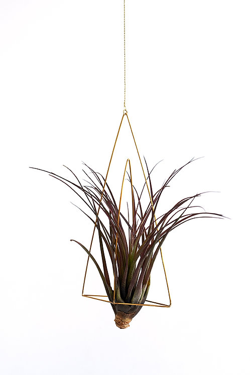 Triangel no.3 + air plant